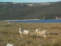 Island Cres, Croatia - sheep on little isle Visoki